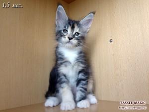 Сколько стоит котенок мейн кун, стоимость котят мейн кун, фото, котята мейн кун, порода мэйн-кун, питомник мейн-кунов