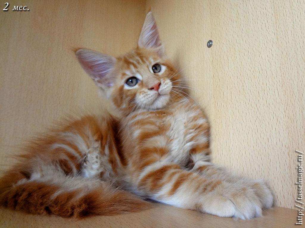 мэйкун фото котят