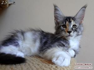 Коты породы мейн кун, цена, фото, питомник мейн кунов, как купить котенка мейн кун