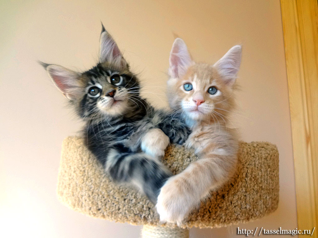 Коты мейкун фото и цена