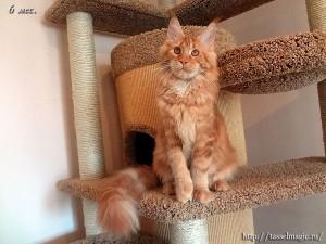 Порода мейн кун, цена, фото, приобретение и содержание кошек породы мейн-кун