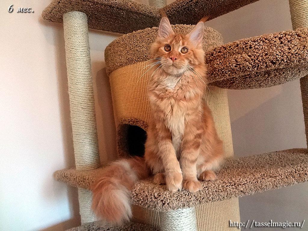 порода кошки мейн кун цена фото