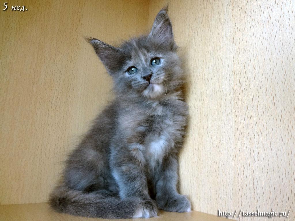 цена порода кошки мейн кун фото