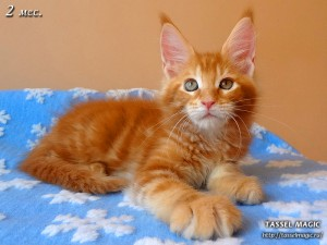 Котята мейн кун, цена, фото, кошки мейн-кун, порода мейн кун, питомник мейн-кунов