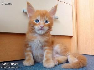 Продажа котят мейн кун, цена, фото, котята мейн кун, кошки мейн-кун, порода мейн кун, питомник мейн-кунов